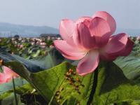 Цветение лотоса на острове Путятина